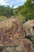 Zebra petroglyph site Peet Alberts Namibia