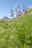 Purple Turk's Cap Lily flower in the summer in the Pyrenees