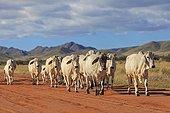 Vaches Brahmanes sur une piste en latérite Namibie