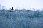 Red partridge in a meadow at dawn Extremadura Spain