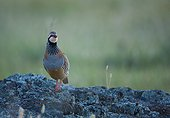Red partridge on a rock Extremadura Spain