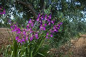 Gladiolus flowers in olive grove in Extremadura Spain