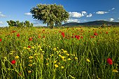 Poppies and Oak Forest Extremadura Spain ; Dehesa