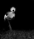 Black Crowned-Crane Zoological Park Clères France