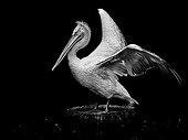 Dalmatian pelican Zoological Park Clères France