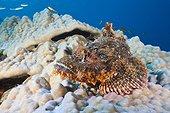 Tassled Scorpionfish on coral reef Felidhu Atoll Maldives