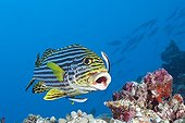 Oriental Sweetlips cleaned by Cleaner Wrasse Maldives