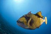 Green Triggerfish North Male Atoll Maldives