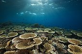 Reef of Table Corals Felidhu Atoll Maldives