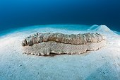 Anax Sea Cucumber on sand North Male Atoll Maldives