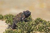 Namaqua Chameleon Skeleton Coast Namibia