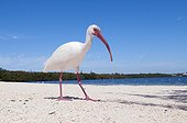 American White Ibis walking on beach Florida USA