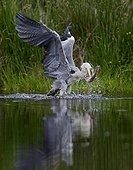 Héron cendré capturant une Truite arc-en-ciel Ecosse RU
