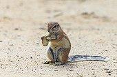 South African Ground Squirrel eating acacia fruit Kgalagadi