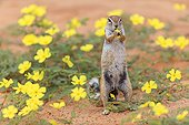 South African Ground Squirrel eating Puncturevine flowers