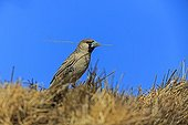 Social-weaver with twig for nest building Kgalagadi