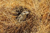 Social-weaver with twigs for nest building Kgalagadi