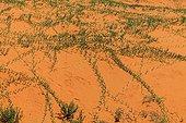 Plant colonizing dunes to the rainy season Kalahari