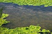Green algae in coastal lagoon Catalonia Spain