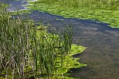 Reeds Soft faced hammers and green algae in coastal lagoon