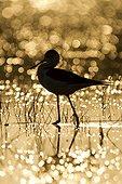 Stilt in water at dawn France
