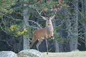 10 horns red deer in fall France