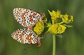 Spotted Fritillaries mating on a flower of Euphorbia