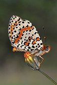 Spotted Fritillary on a flower France
