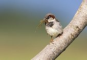House Sparrow perched on a branch at spring Greece ; The bird hold in the beak materials to build its nest.