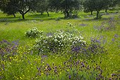 Cistus and lavender blossom in spring in Spain