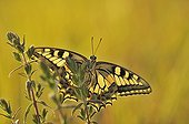 Swallowtail at daybreak on a red bartsias France