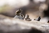 Chipmunk in the Sequoia national parc USA