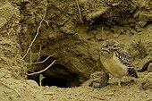 Young Burrowing Owl in Ecuador