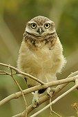 Young Burrowing Owl on a branch in Ecuador