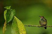 Rufous-tailed Hummingbird on a branch Ecuador