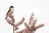 Woodchat shrike on the top of a tree at spring Greece