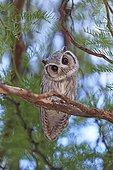 Southern White-faced Owl in a tree Desert of Kalahari  ; It turns its head sideways