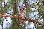 Southern White-faced Owl in a tree Desert of Kalahari