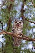 Southern White-faced Owl yawning Desert of Kalahari