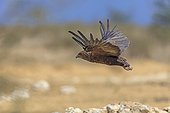 Immature Bateleur taking off from a water Desert of Kalahari