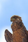 Portrait of a immature Bateleur in the desert of Kalahari
