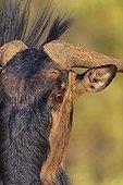 Gros plan d'un Gnou à queue noire dans le désert du Kalahari