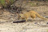 Mangouste fauve jouant avec un Mille-pattes géant africain
