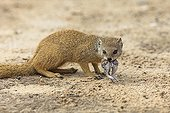 Yellow Mongoose with a rodent in its mouthKalahari