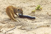 Yellow Mongoose playing with a Giant African Millipede