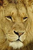 Closeup of the head of a Lion in South Africa