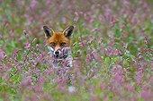 Red Fox sitting in a flowering meadow in summer GB