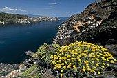 Immortal flowers Cap de Creus NP Catalonia Spain