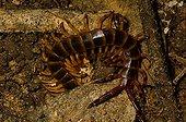 Centipede rainforest in French Guiana