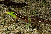 Striped Forest Whiptail in rainforest French Guiana